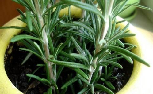 Розмарин: выращивание на огороде и дома, сорта