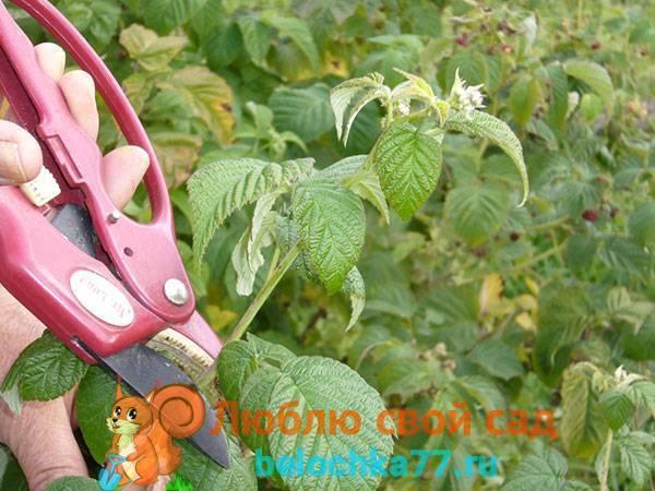 Ежемалина: уход и выращивание, преимущества сорта тайбери