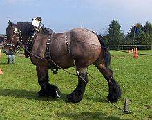 Буденновская лошадь - история породы, экстерьер, особенности характера, преимущества