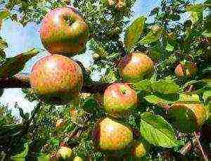 Белорусские лучшие сорта яблонь