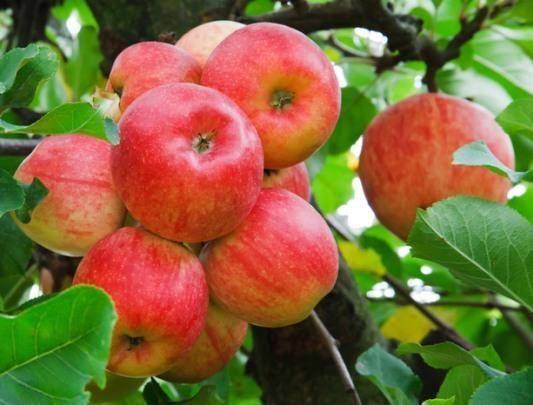 Описание и характеристики плодоношения сорта яблонь уэлси, выращивание и уход - всё про сады