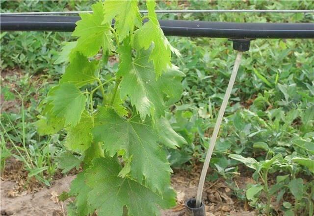 Подробное описание сорта винограда фурор: фото и отзывы