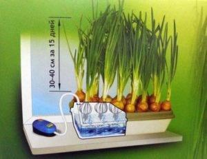 Принцип выращивания лука методом гидропоники - агрономы