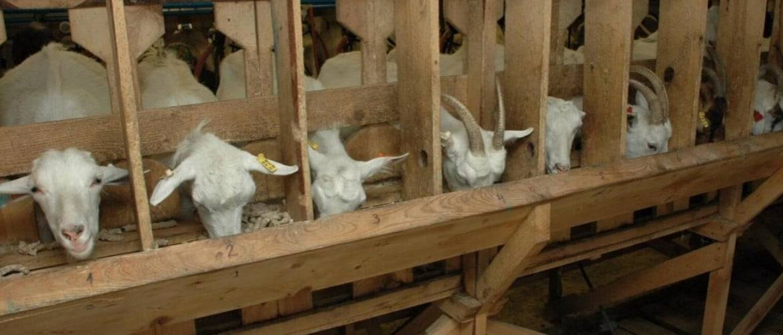 Сарай для коз: козлятник своими руками