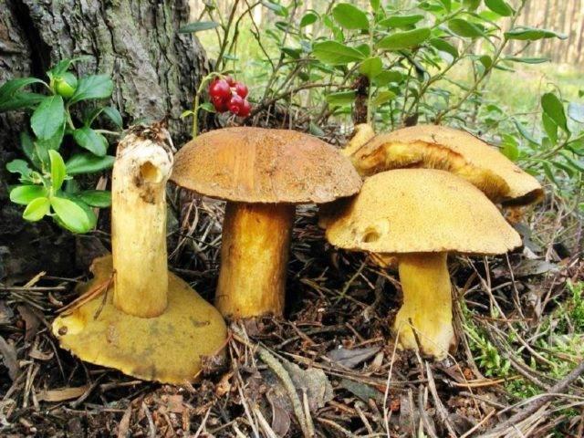 Все отличия гриба ложной лисички от настоящей c фото и описанием