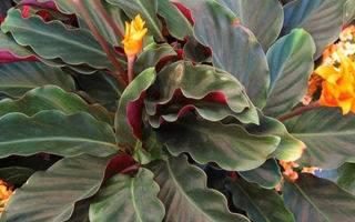 Цветок калатея шафранная: уход за растением в домашних условиях