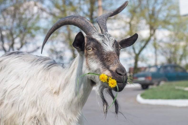 Как можно назвать козу?