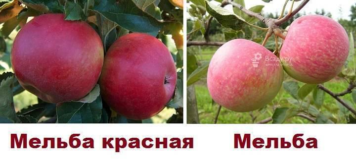 Разновидности и характеристика яблони мельба – когда созревает урожайный сорт