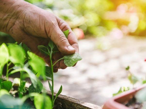 Листья рассады перца желтеют, скручиваются, опадают, что делать? болезни рассады перца и борьба с ними (фото)