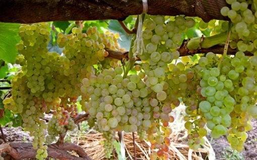 Особенности винограда без косточек - дневник садовода semena-zdes.ru