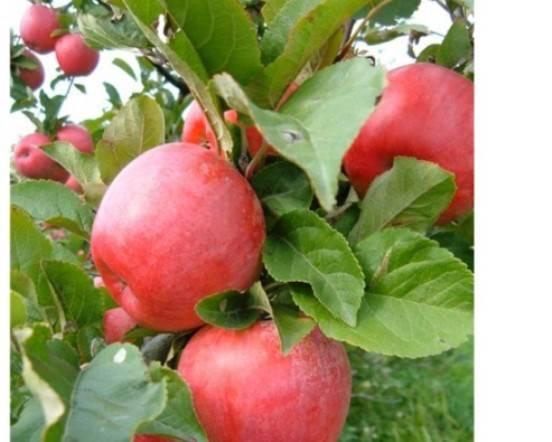 Сортовая характеристика яблони хоней крисп - мыдачники