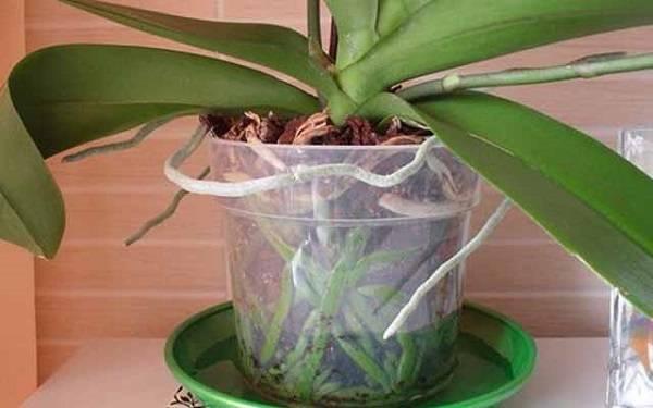 Как поливать орхидею фаленопсис в домашних условиях во время и после цветения