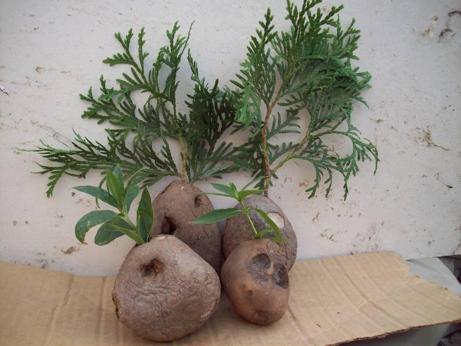 Эффективное размножение туи, или как получить максимум любимых растений из черенков