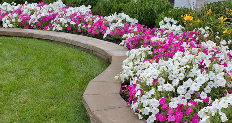 Чем подкормить петунию для обильного цветения в домашних условиях