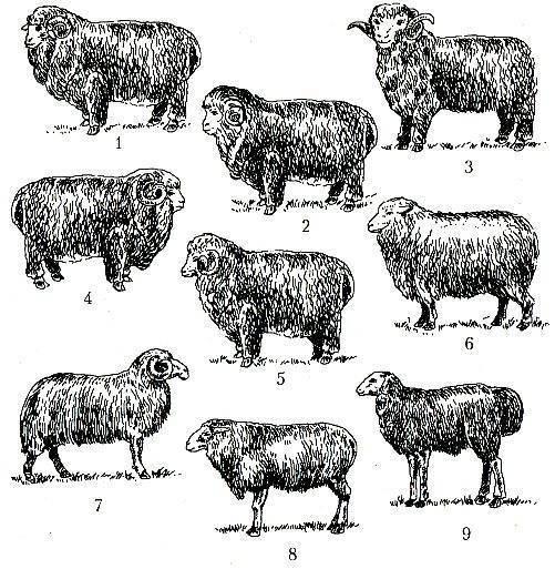 Содержание и кормление овец в зимний период - домашние наши друзья