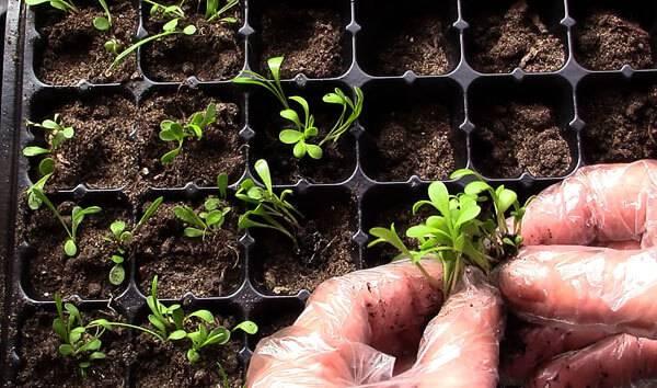 Гацания: выращивание рассады из семян, посадка и уход в открытом грунте