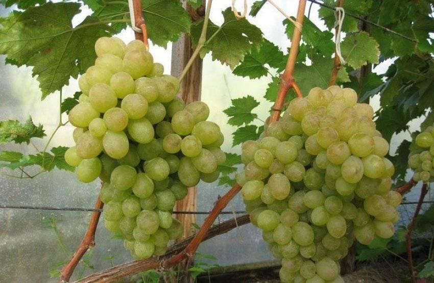 Виноград ланселот - описание и особенности сорта, выращивание и уход