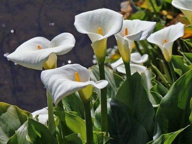 """Калла: описание и агротехника выращивания - проект """"цветочки"""" - для цветоводов начинающих и профессионалов"""