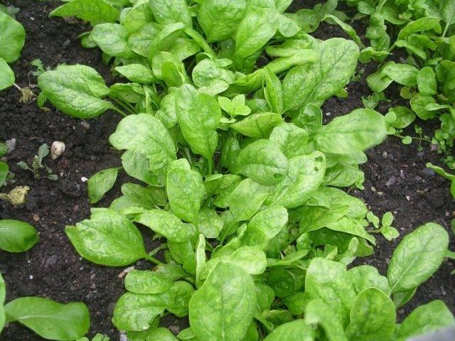 Шпинат земляничный: способы выращивания, полезные свойства