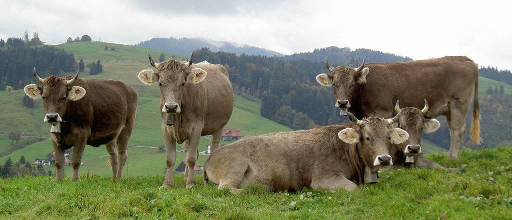Монбельярдская порода коров: описание и характеристика, содержание