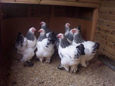Павловская порода кур – уникальное открытие русских селекционеров