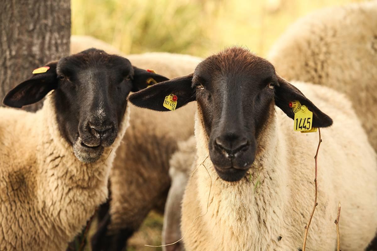 Описание овец породы суффольк - агрономы