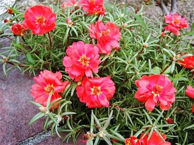 Как выглядят цветы портулак: посадка и уход, фото