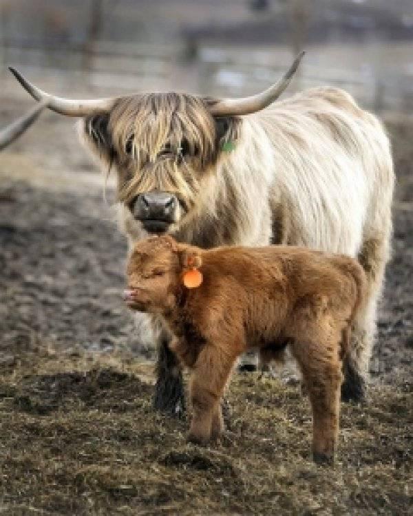Голштинская порода коров: характеристика и особенности ухода