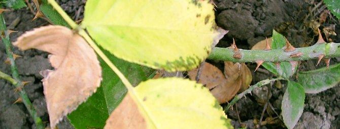 Почему у розы желтеют листья: причины и способы борьбы