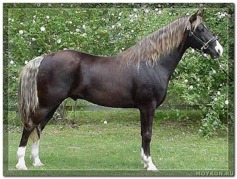 Горские породы лошадей: название, описание и фото