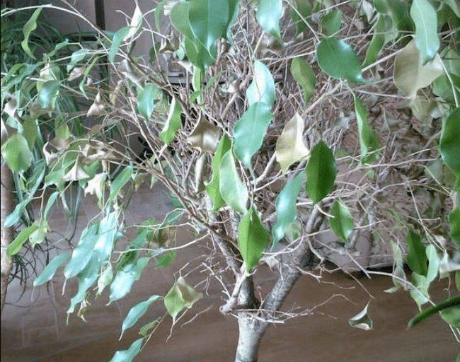 Почему у фикуса бенджамина желтеют листья? как поливать и чем удобрять фикус бенджамина
