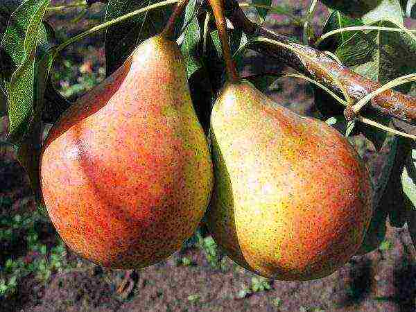 Осенние сорта груш - описание, фото