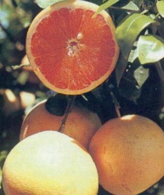 Грейпфрут выращивание: в домашних условиях, из косточки грейпфрут выращивание: в домашних условиях, из косточки