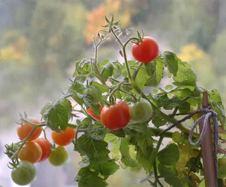 Балкон — место для выращивания помидор