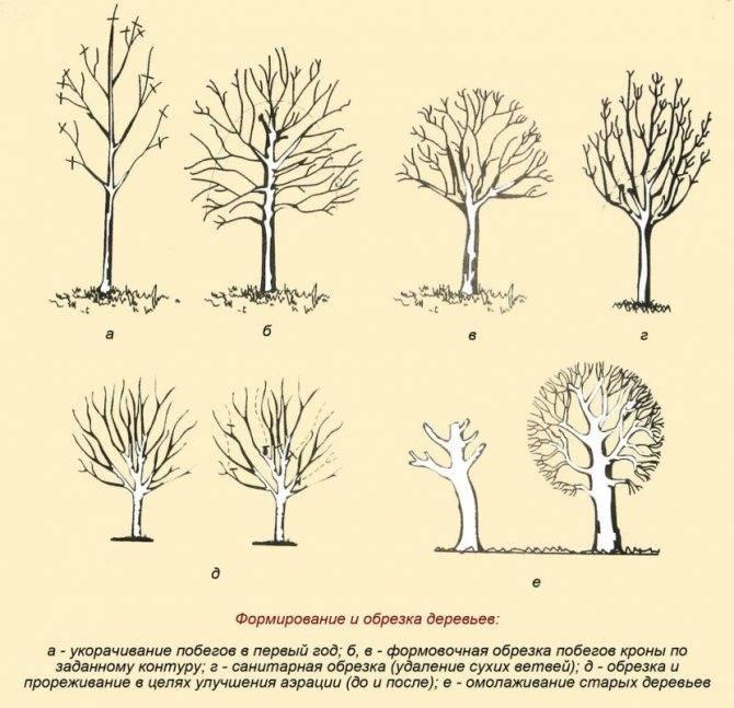 Обрезка вишни для увеличения урожайности - 110 фото и видео правильной обрезки деревьев