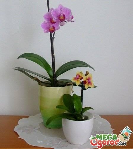 Как ухаживать за орхидеей фаленопсис в домашних условиях после покупки