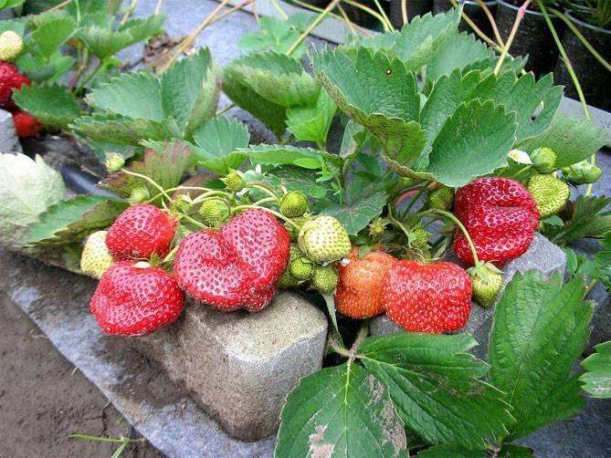 Клубника елизавета: преимущества и недостатки сорта, особенности выращивания