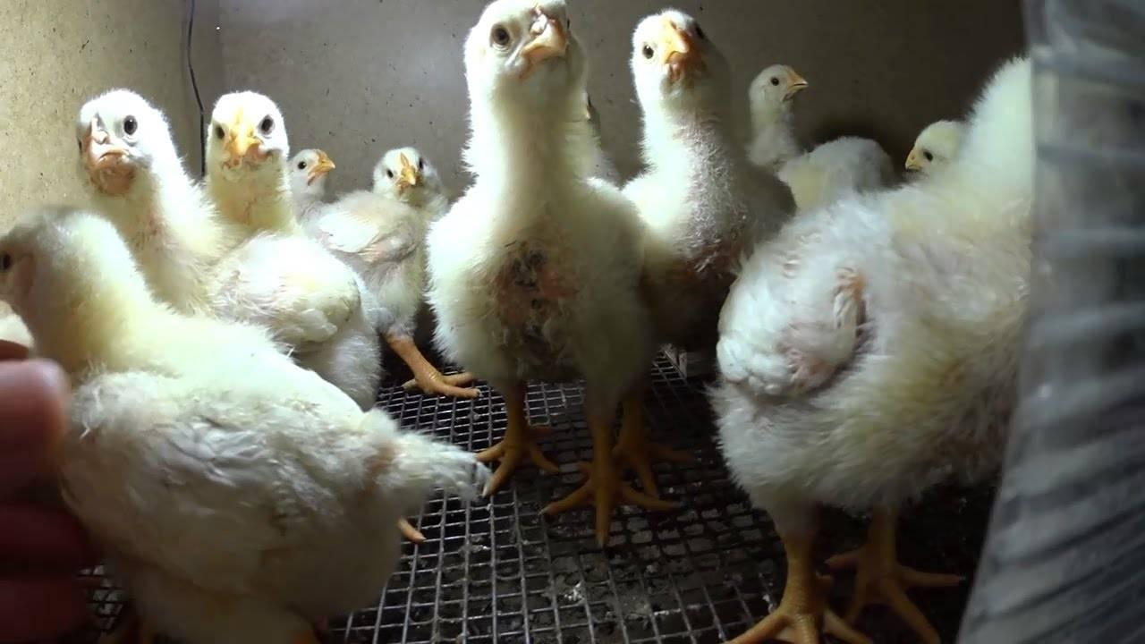 Бройлеры ross 308 (25 фото): описание породы, таблица роста и веса по дням, руководство по содержанию цыплят, отзывы