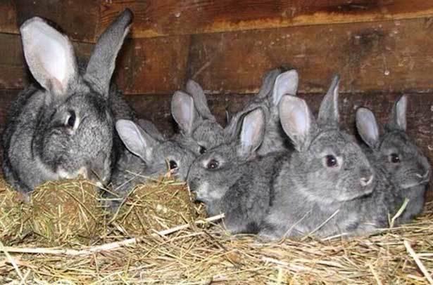 Когда отсаживать крольчат от крольчихи: в каком возрасте, когда выходит молодняк из гнезда