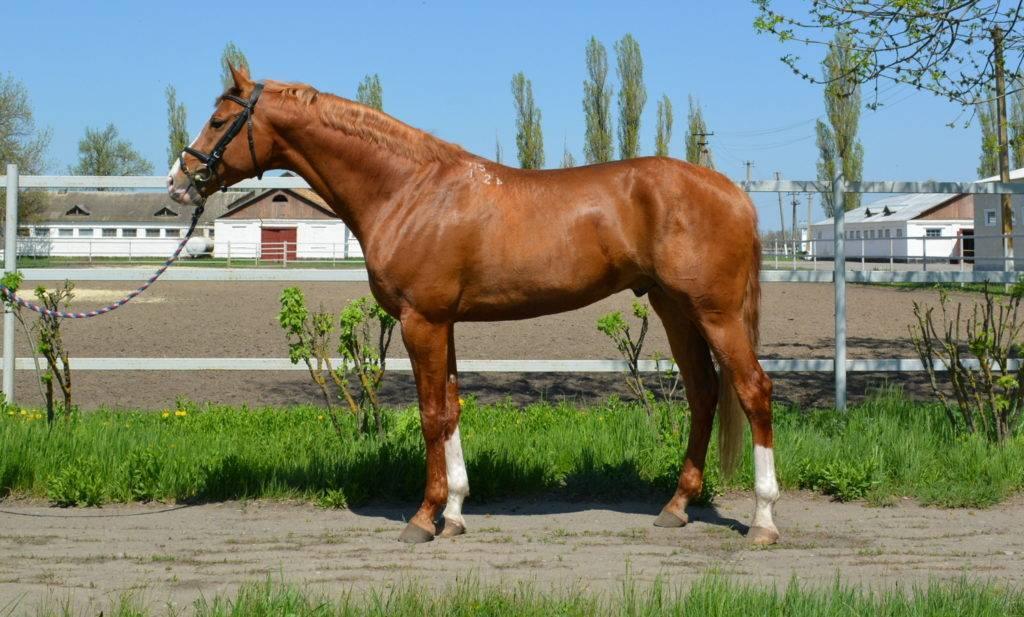 Буденновская порода лошадей: краткий обзор с описанием экстерьера и фото