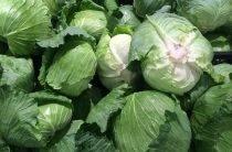 Лучшие ранние сорта капусты белокочанной для россии и ее регионов