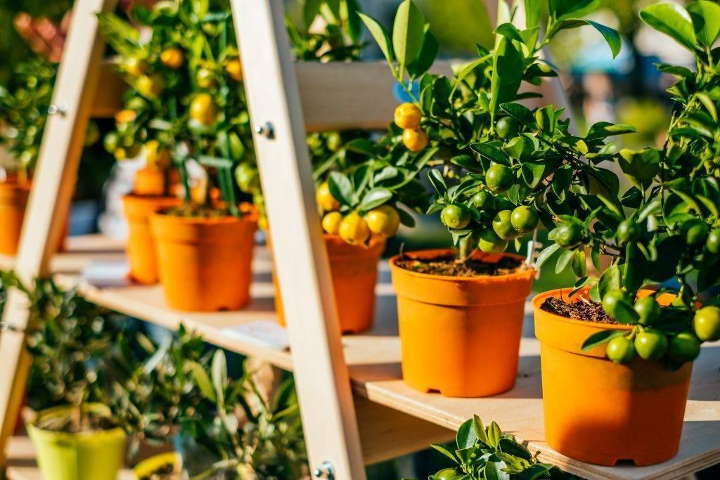 Как организовать уход за апельсиновым деревом в домашних условиях