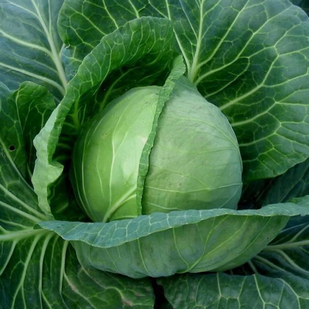 Зимние сорта капусты с описанием и фото