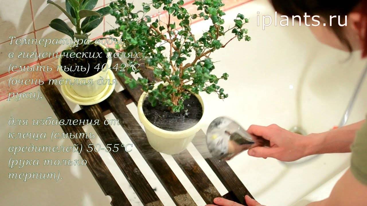Фикус барок (барокко): фото, уход в домашних условиях