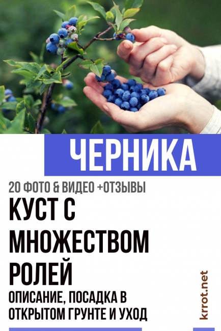 Голубика блюголд: описание сорта с характеристикой и отзывами, особенности посадки и выращивания, фото
