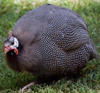 Голубая цесарка: описание породы с характеристиками