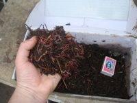 Красный калифорнийский червь   мир животных и растений