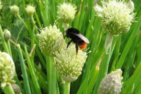 Лук-батун — выращивание из семян как однолетник и многолетник