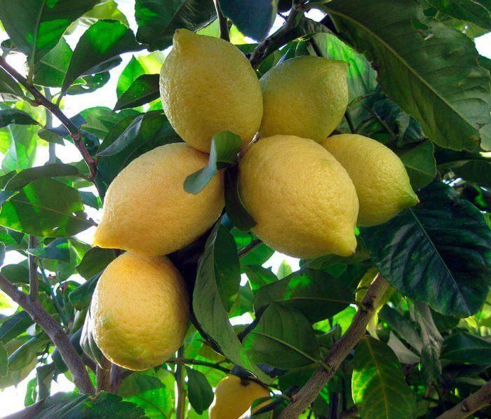 Виды и сорта комнатных домашних лимонов