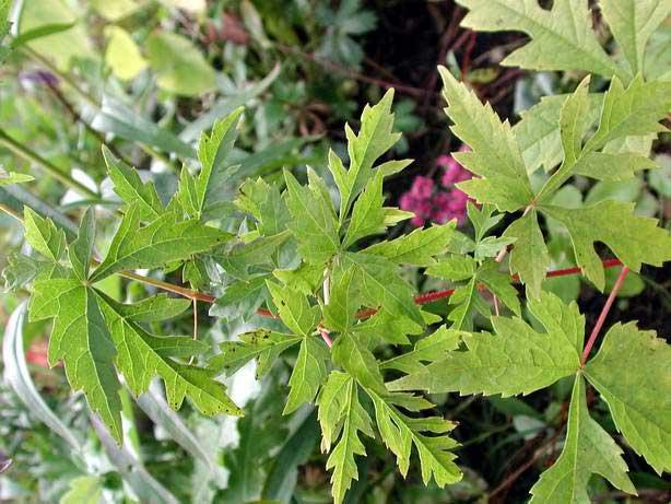 Виноградовник ампелопсис разнолистный